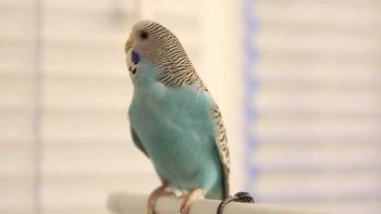 Волнистый попугай отвернулся