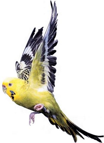 Полет волнистого попугайчика