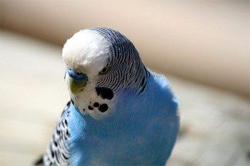 Серьезный волнистый попугай