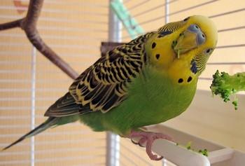 Смешной волнистый попугай ест брокколи