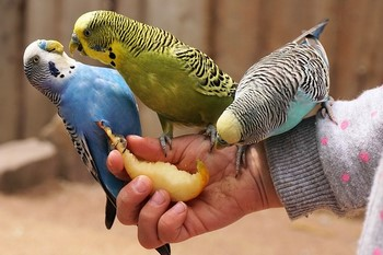 Три волнистых попугая едят фрукты с руки