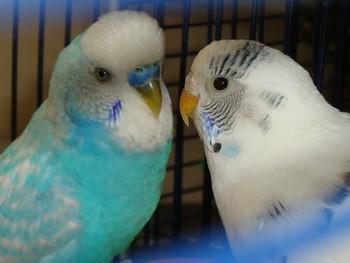 Волнистые попугаи смотрят друг на друга