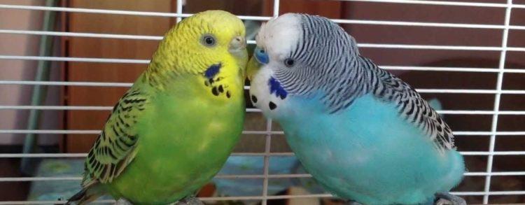 Волнистые попугаи целуютсся