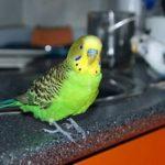 Волнистые попугаи сидят на кухне