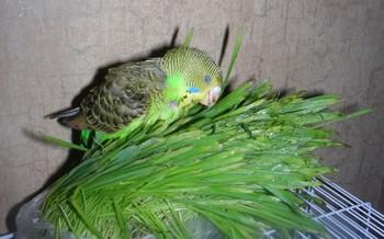 Волнистый попугай ест траву
