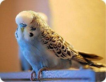 Волнистый попугайчик сидит нахохлившись