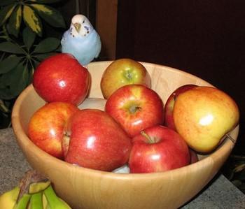 Волнистый попугайчик сидит возле яблок