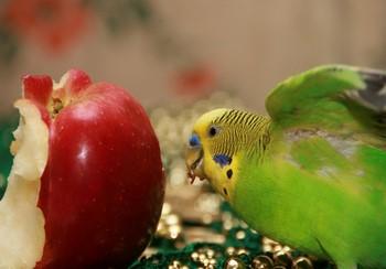 Волнистый попугай кушает яблоко