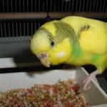Волнистый попугай кушает зерновую смесь