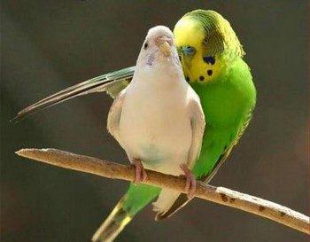 Волнистый попугай обнимает другого