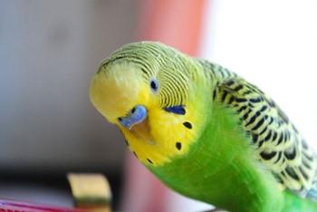 Волнистый попугай смотрит на тебя