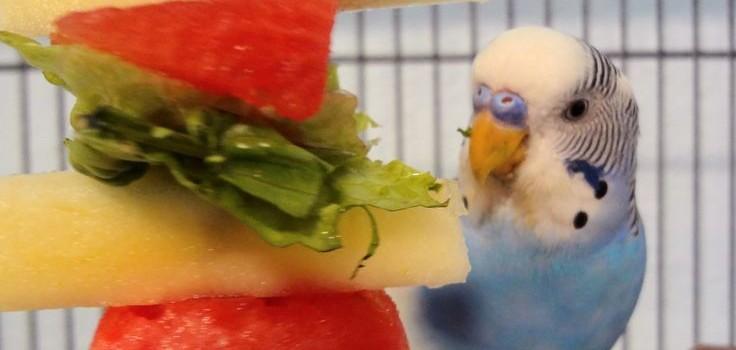 Волнистый попугайчик ест фрукты