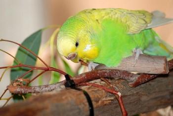 Волнистый попугайчик грызет веточки