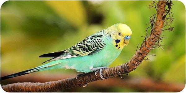 Волнистый попугайчик сидит на ветке