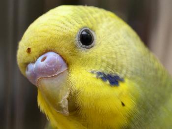 Желтый волнистый попугай смотрит на тебя