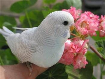 Белый волнистый попугайчик у цветов