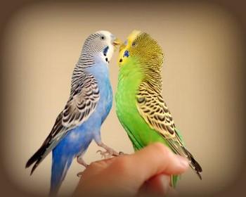 Два волнистый попугайчика целуются