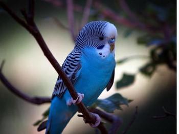 Голубой волнистый попугайчик на дереве