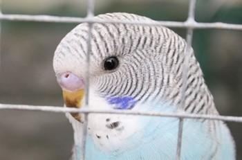 Голубой волнистый попугай за клеткой