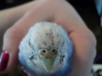 Голубой овлнистый попугайчик линяет