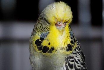 Необычный волнистый попугай с маленьким клювом
