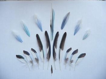 Перья волнистого попугая