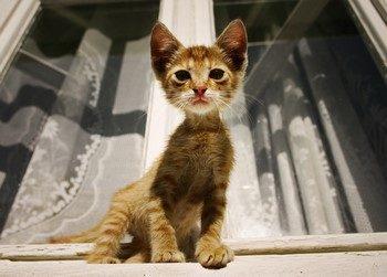 Рыжий худой котенок