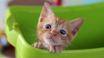 Рыжий котенок выглядывает из лотка