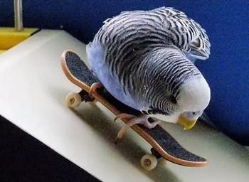 Синий волгнистый попугайчик на скейте