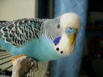 Смешной волнистый попугайчик смотрит