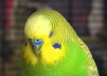 Спящий волнистый попугайчик