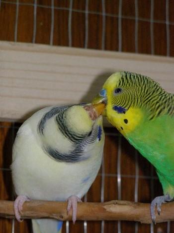 Волнистые попгаи целуются