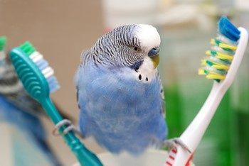 Волнистый попугай между зубными щетками