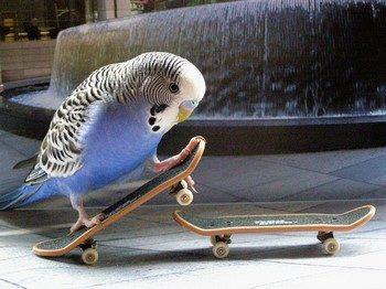 Волнистый попугай на скейтборде