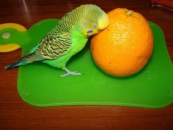 Волнистый попугай прислонился к апельсину