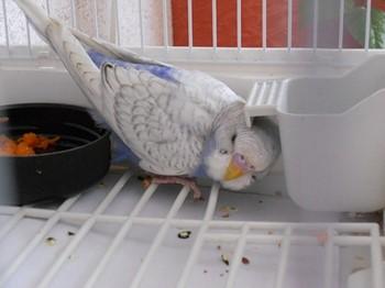 Волнистый попугайчик прячется в клетке