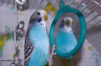 Волнистый попгайчик смотрит в зеркало