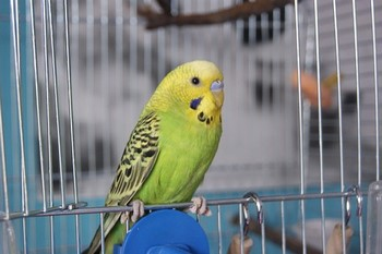 Зеленый волнистый попугайчик сидит на клетке