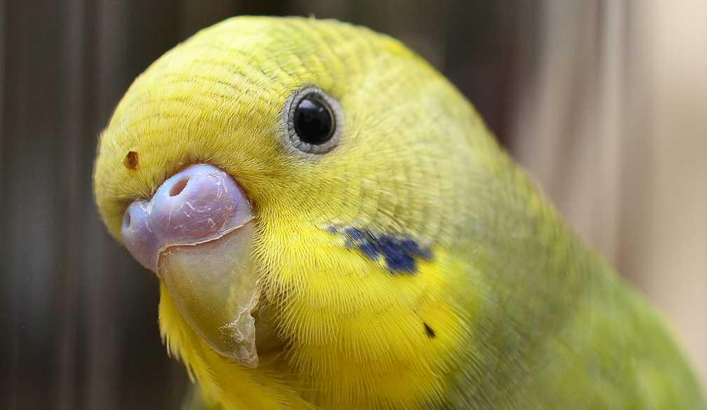 Желтый волнистик внимательно смотрит