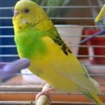 Желтый волнистый попугайчик в клетке