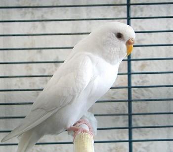 Белый волнистый попугай