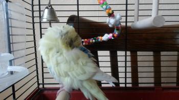 Белый волнистый попугай сильно нахохлился