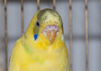 Больной клюв у волнистого попугая