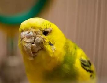 Деформированный клюв у волнистого попугая