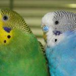 Два попугая смотрят в камеру