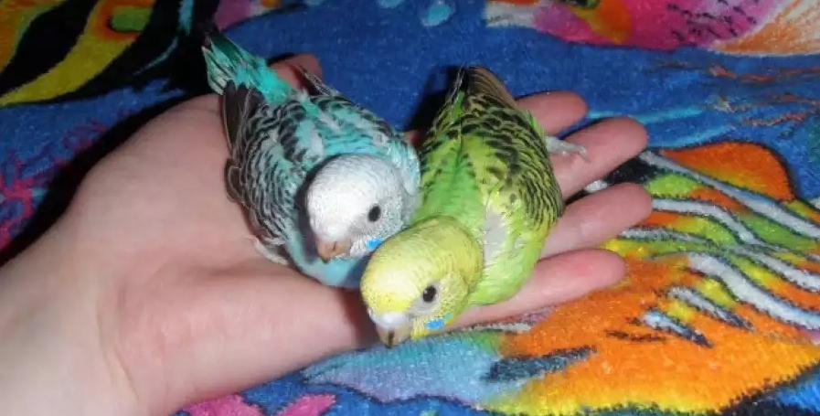Два птенчика волнистых попугаев
