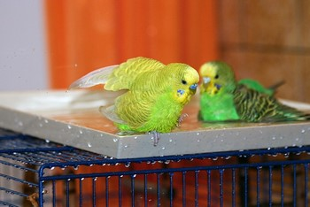 Два волнистый попугая купаются