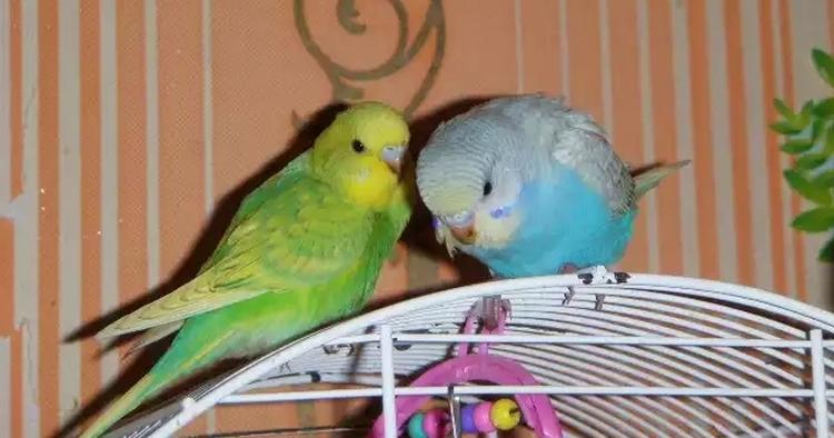 Два волнистых попугая в клетке