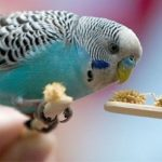 Голубой волнистый попугай ест