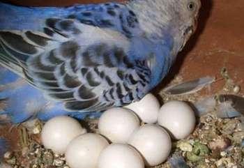 Голубой волнистый попугай сидит с яйцами